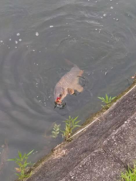 ヤマセンコーで釣れた鯉